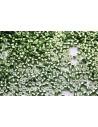 Perline Delica Miyuki Galvanized Light Green Dyed 11/0 - 8gr